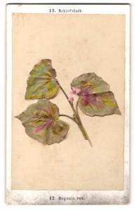 Fotografie F. Fridrich, Prag, Schiefblatt - Begonia rex, Pflanzenzweig mit Blüten & Blättern