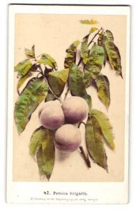 Fotografie F. Fridrich, Prag, Nekatarine - Persica vulgaris, Zweig mit Blättern und Früchten