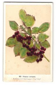 Fotografie F. Fridrich, Prag, Sauerkirsche - Prunus cerasus, Zweig mit Früchten & Blättern