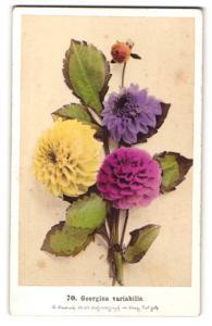 Fotografie F. Fridrich, Prag, Dahlie - Georgina variabilis, Blume mit verschieden farbigen Blüten