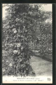 AK Roseraie de l`Hay, Pylone de Rosiers sarmenteux Mme Berard