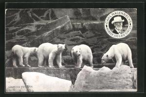 AK Carl Hagenbeck`s Wonder Zoo & Big Circus, Captive yet Free, Eisbären im Gehege