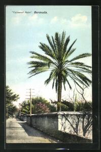 AK Bermuda, Cocoanut Palm
