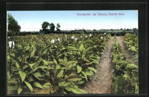 AK Puerto Rico, Plantacion de Tabaco