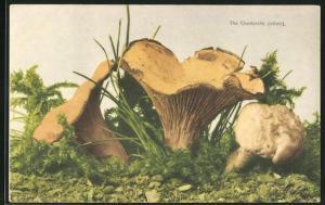 AK Pilze, Pfifferlinge (The Chantarelle) auf dem Waldboden