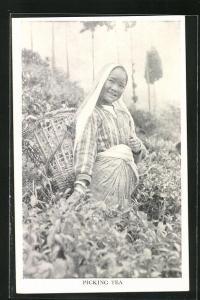 AK Nepal, Picking Tea