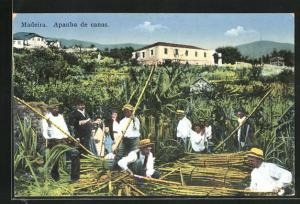 AK Madeira, Apanha de canas