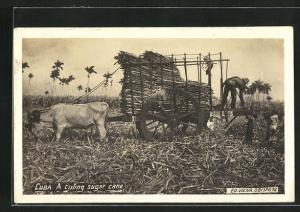AK Cuba, A cuting sugar cane