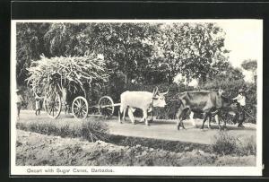 AK Barbados, Oxcart with Sugar Canes