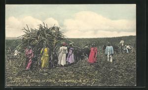 AK Barbados, Loading Canes in Field