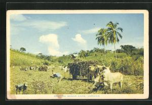 AK Jamaica, Reaping sugar cane