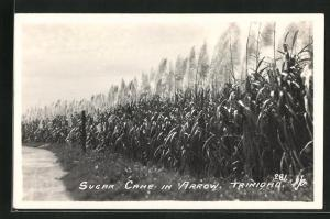 AK Trinidad, Sugar Cane in Arrow