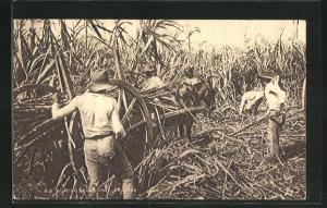 AK Trinidad, Reaping Sugar Cane, Zuckerrohr-Ernte