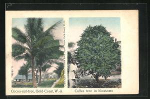 AK Cape Coast, Cocoa nut tree, Coffee tree in blossoms