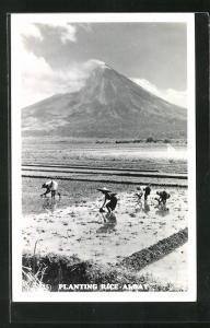 AK Albay, Planting Rice