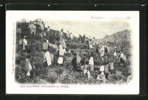 AK Tea Industry on Ceylon, Pluckers at Work