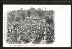 AK Tea Industry, Pluckers at Work