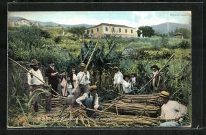 Künstler-AK Madeira, Apanha de cannes