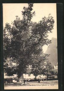 AK Samoens, Le Gros Zilleul plante en 1438