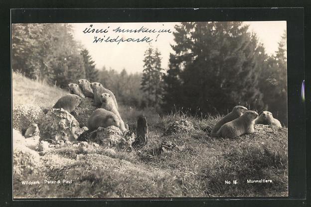 AK Murmeltiere im Wildpark Peter & Paul 0