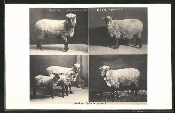 AK Grabs, Schafe der Rasse Oxfort, Grabser Schafzucht-Genossenschaft 0