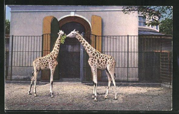 AK Basel, Giraffen im zoologischen Garten 0