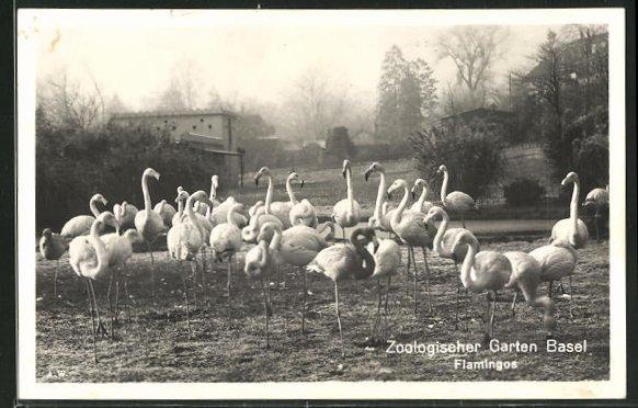 AK Basel, Flamingos im Zoologischen Garten 0
