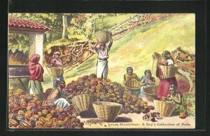 AK Cocoa Plantation, A Day`s Collection of Pods, Arbeiter bei der Kakaoernte