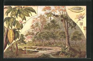AK Gathering Cocoa Fruits, Arbeiter sammeln Kakaofrüchte