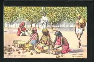 AK Cocoa Cultivation, Extracting the Beans, Arbeiter extrahieren die Bohnen