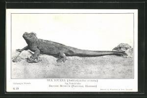 AK Sea Iguana, Amblyrhynchus cristatus, Leguan