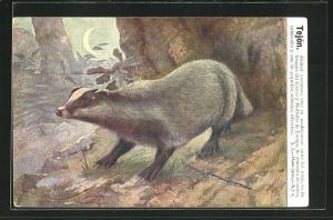 AK Tejon, Animal nocturno, Dachs im Wald bei Mondschein