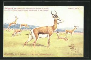 AK South Africa, Springbok, Springböcke auf einer Wiese