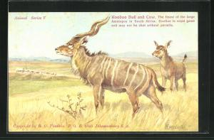 AK South Africa, Koodoo Bull and Cow, Kudu Bulle and Kuh