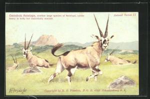 AK Gemsbok Antelope, Spiessbockantilopen auf einer Wiese