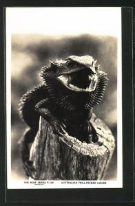AK Australian Frill-Necked Lizard, Australische Krauseidechse