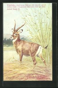 AK Waterbok, a dark brown Antelope with long hair and of medium height, Antilope im Schilfgras