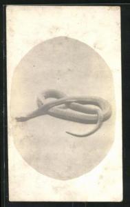 Foto-AK Schlange in Form einer Brezel