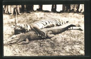 AK Tiger und Krokodil auf einer Wiese