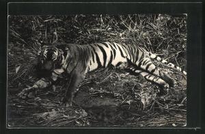 AK Auf der Jagd erlegter Tiger auf Gräsern