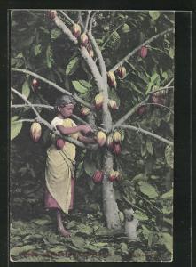 AK Indien, Frau schneidet Kakao Frucht vom Baum