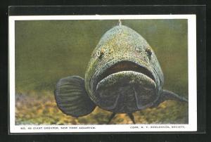 AK New York Aquarium, Giant Grouper, Barsch