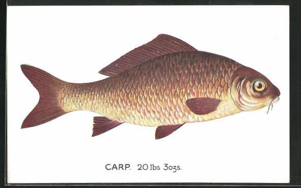 AK Carp (Cyprinus carpio), Karpfen 0