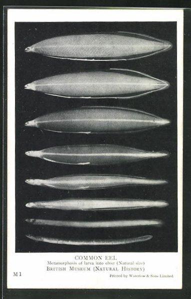 AK Common Eel, Metamorphose von Larve zum Fisch 0