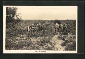 AK Zebras in Steppe, Group of Zebras