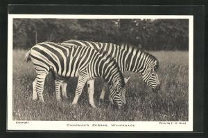 AK Zebras beim Grasen, Chapman`s Zebras, Whipsnade