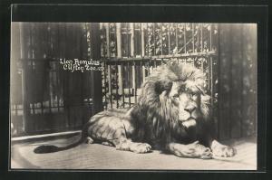 AK Bristol, Clifton Zoo, Lion Romulus, Löwe im Käfig