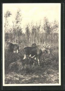 AK Kurische Nehrung, Elch-Gruppe im Birkenwald