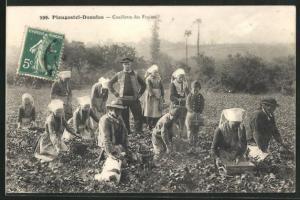 AK Plougastel-Daoulas, Bauern ernten Erdbeeren, Obst