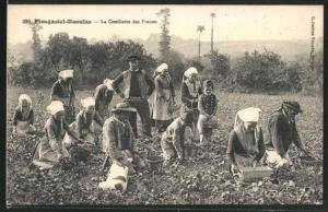 AK Plougastel-Daoulas, Bauern pflücken Erdbeeren, Obst